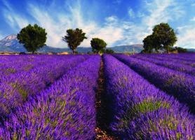 زمینهای بنفش در پروانس، فرانسه