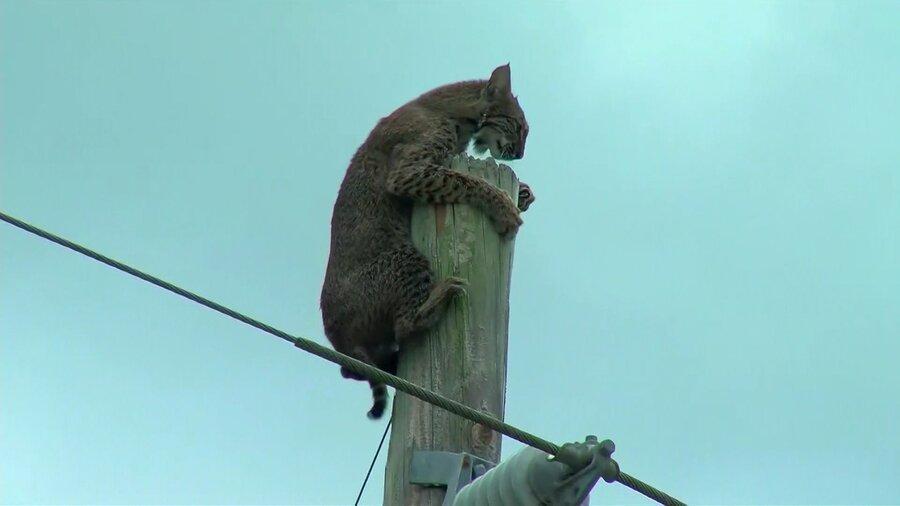 فیلم، گربه وحشی روی تیر برق