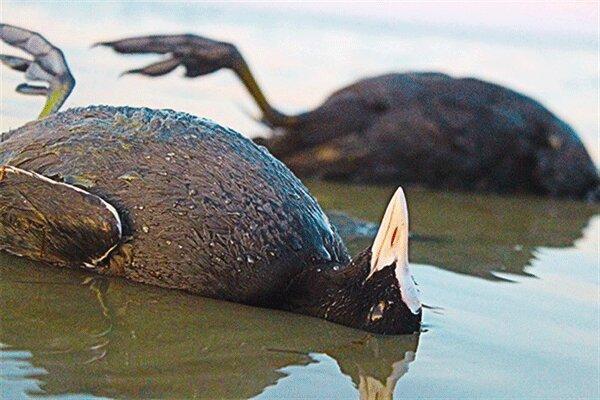 میانکاله؛ شکار ممنوع ، به لاشه پرندگان نزدیک نشوید