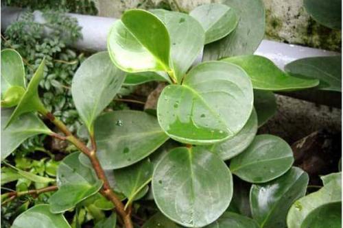 نگهداری و قلمه زدن گل قاشقی (پیرومیا) چگونه است؟