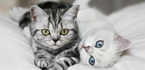 گران قیمت ترین گربه های خانگی جهان