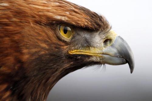 کجا عقاب طلایی ببینیم؟